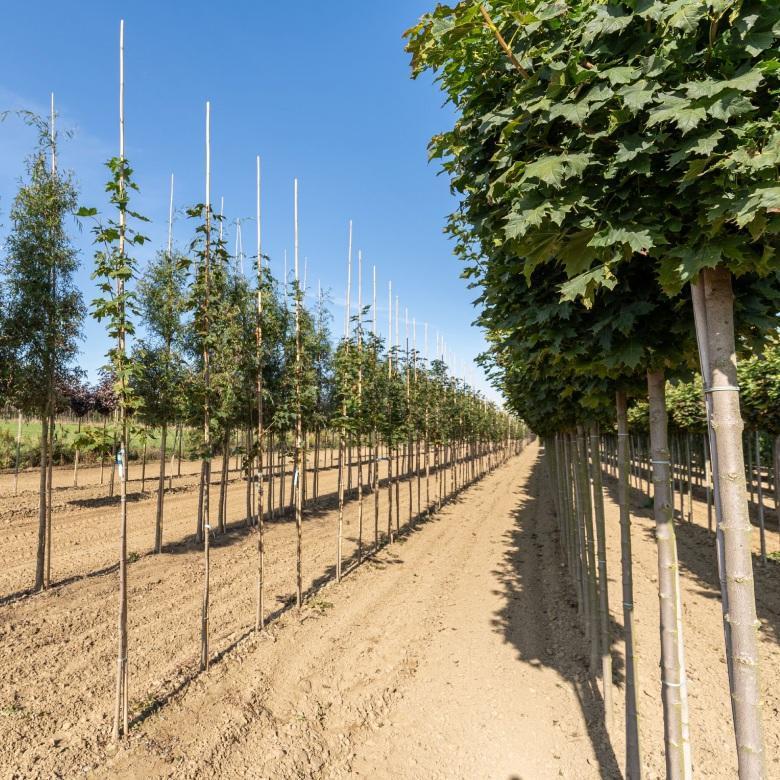 szkółka drzew ikrzewów