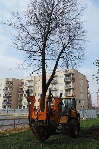 rok-2017-przesadzanie-drzew-dla-dewlopera-w-krakowie-1