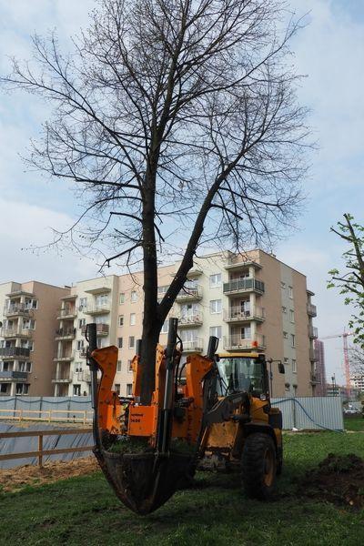 rok-2017-przesadzanie-drzew-dla-dewlopera-w-krakowie-2