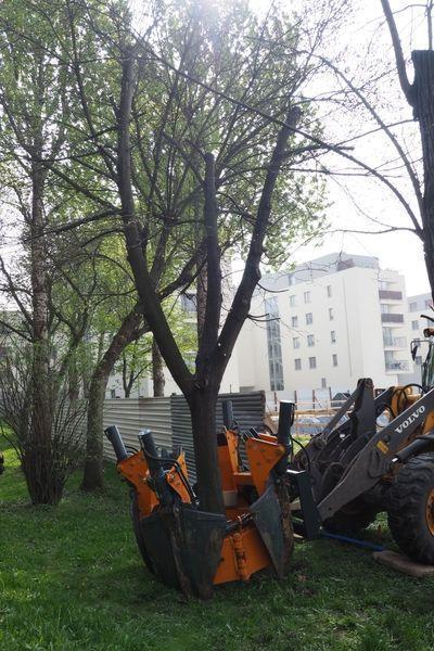 rok-2017-przesadzanie-drzew-dla-dewlopera-w-krakowie-3