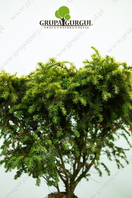 Cis pospolity 'Summergold' – Taxus baccata 'Summergold'