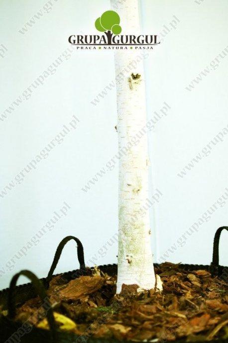 brzoza-utilis-betula-utilis-sspjacquemontii.2_f