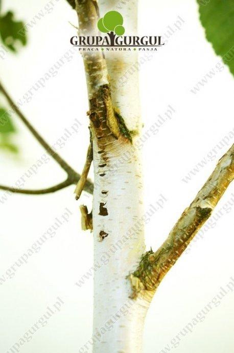 brzoza-utilis-betula-utilis-sspjacquemontii.3_f