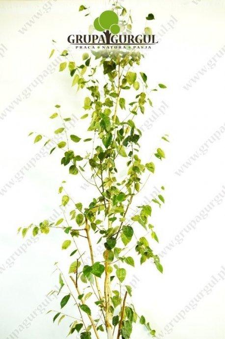 brzoza-utilis-betula-utilis-sspjacquemontii.1_f