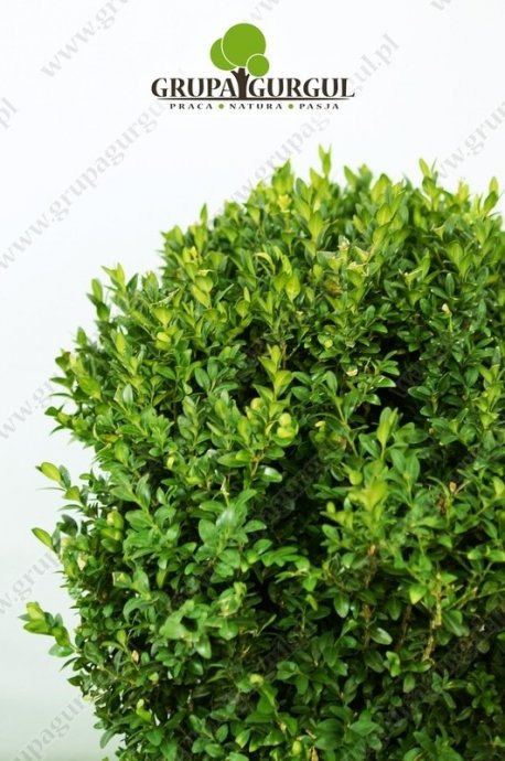 Bukszpan wieczniezielony – Buxus sempervirens – kula
