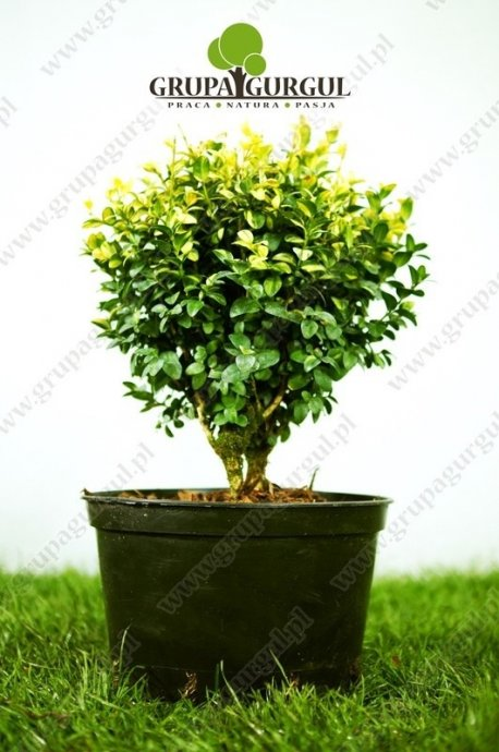 Bukszpan wieczniezielony 'Gold Tip' – Buxus sempervirens 'Gold Tip'