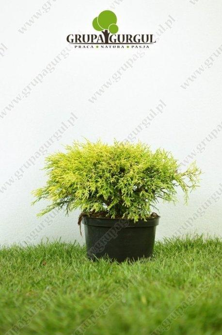 Cyprysik groszkowy 'Filifera Aurea' – Chamaecyparis pisifera 'Filifera Aurea'