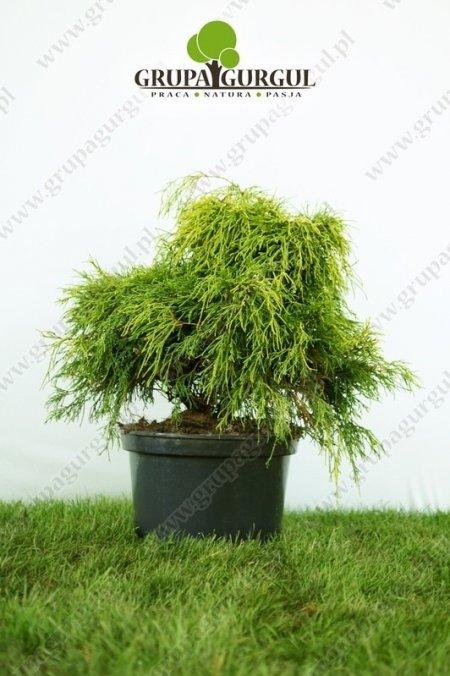 Cyprysik groszkowy 'Sungold' – Chamaecyparis pisifera 'Sungold'