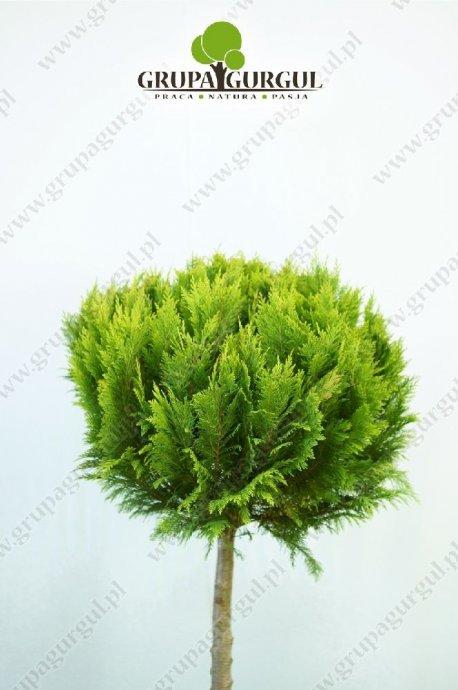 drzewo-23