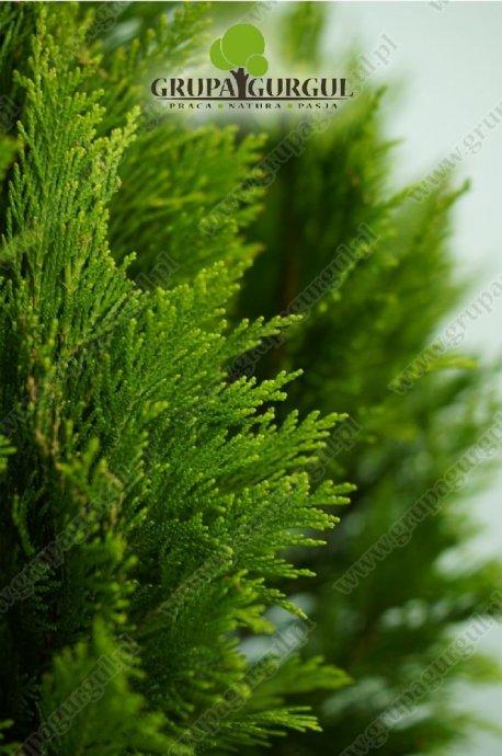 drzewo-40