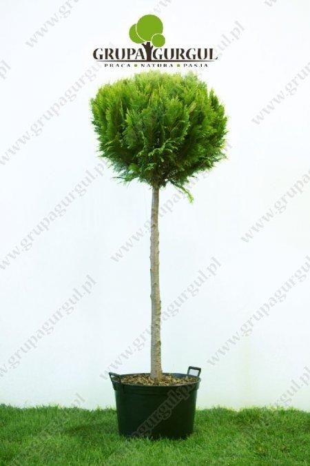 drzewo-44