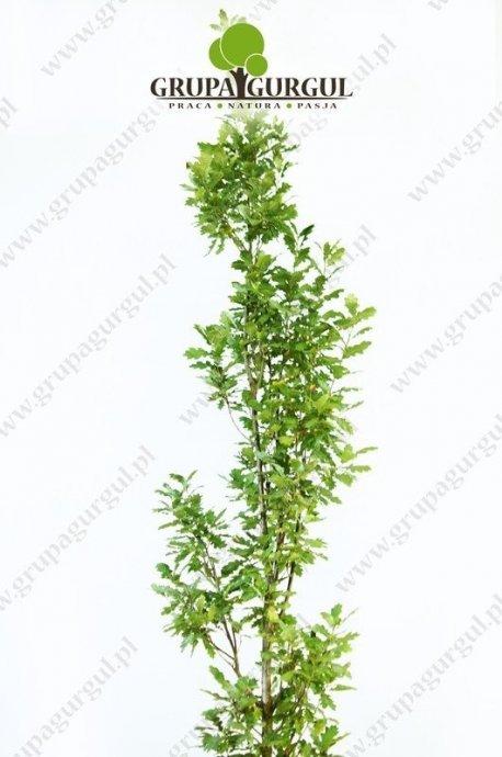 dab-szypulkowy-fastigiata-quercus-robur-fastigiata.1_f