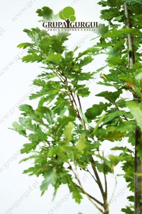 dab-szypulkowy-fastigiata-quercus-robur-fastigiata.2_f
