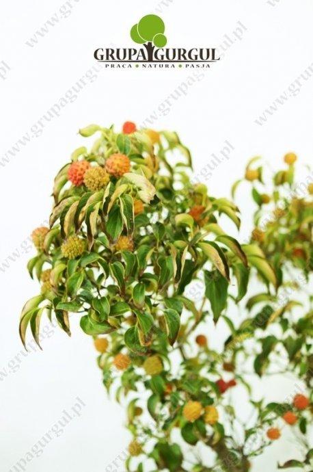 Dereń kwiecisty forma czerwona – Cornus florida f. rubra