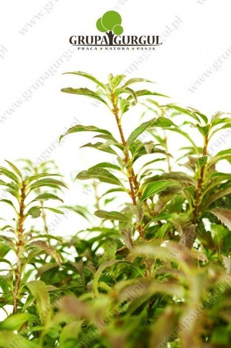 Forsycja pośrednia 'Globosum' – Forsythia intermedia 'Globosum'