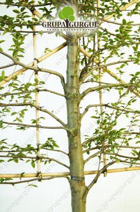 grab-pospolity-ksztaltowany-carpinus-betulus-pyramidalis.1_f