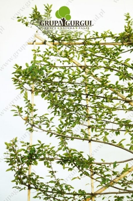 grab-pospolity-ksztaltowany-carpinus-betulus-pyramidalis.3_f