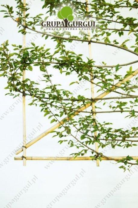 grab-pospolity-ksztaltowany-carpinus-betulus-pyramidalis.2_f