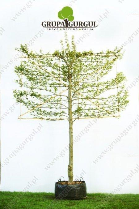 grab-pospolity-ksztaltowany-carpinus-betulus-pyramidalis_f