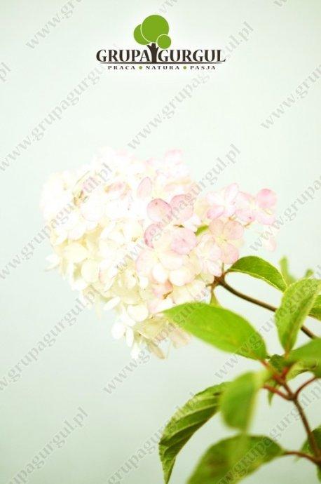 Hortensja bukietowa 'Grandiflora' – Hydrangea paniculata 'Grandiflora'