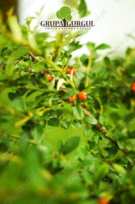 Irga szwedzka 'Coral Beauty' – Cotoneaster suecicus 'Coral Beauty'
