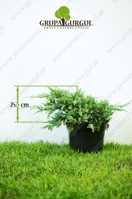 Jałowiec łuskowaty 'Blue Carpet' – Juniperus squamata 'Blue Carpet'