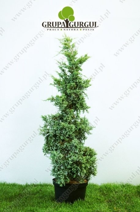 Jałowiec łuskowaty 'Holger' – Juniperus squamata 'Holger' – na pniu