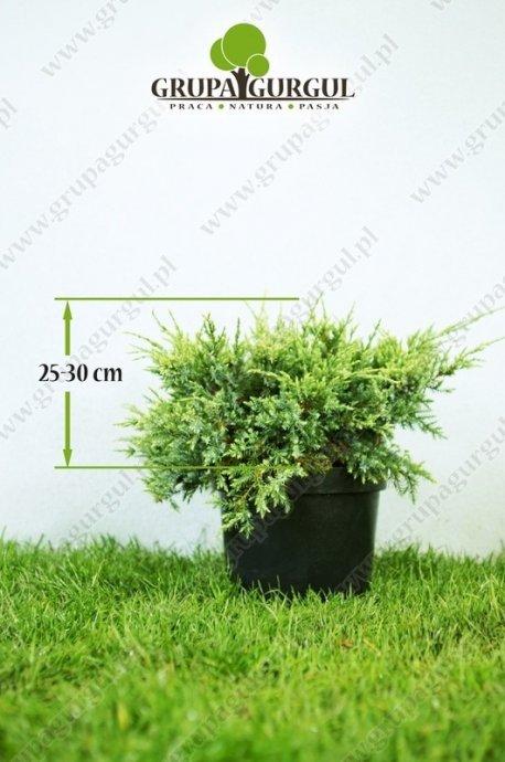 Jałowiec łuskowaty 'Holger' – Juniperus squamata 'Holger'