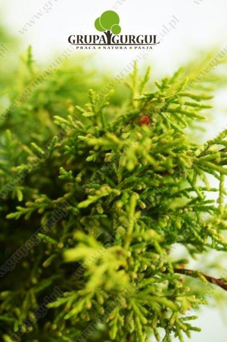 Jałowiec Pfitzera 'Old Gold' – Juniperus pfitzeriana 'Old Gold' – na pniu