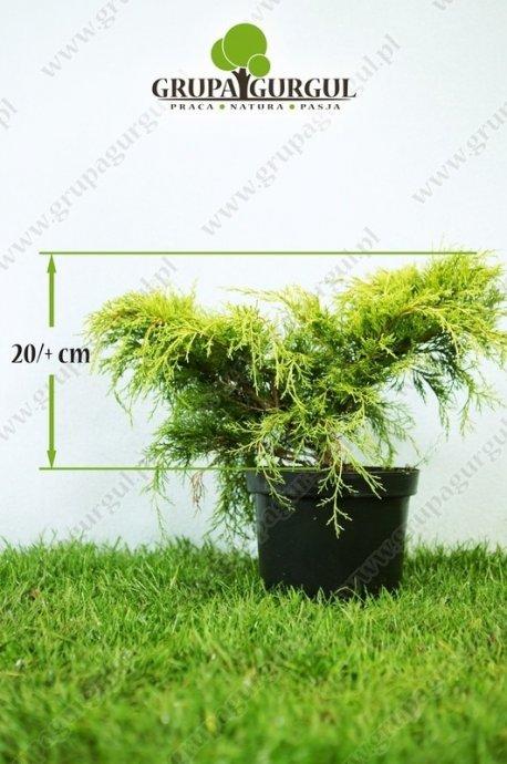 Jałowiec pfitzera 'Old Gold' – Juniperus pfitzeriana 'Old Gold'