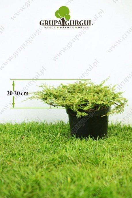 Jałowiec pospolity 'Repanda' – Juniperus communis 'Repanda'