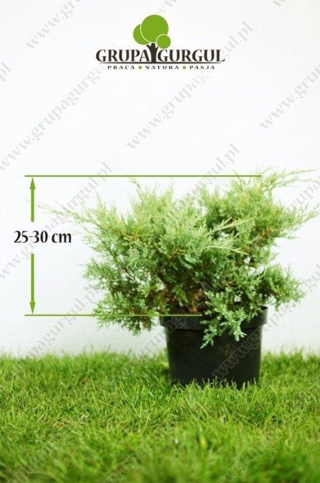 Jałowiec wirginijski 'Grey Owl' – Juniperus virginiana 'Grey Owl'
