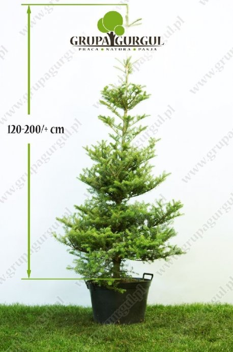 drzewo-21