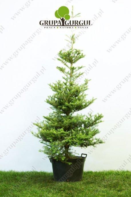 drzewo-12