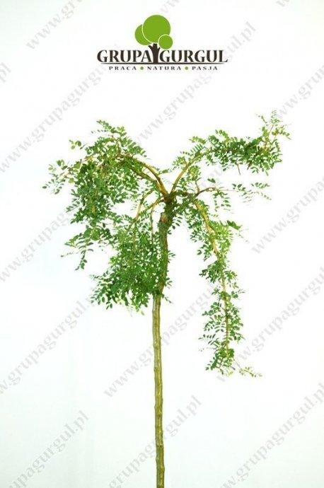 karagana-syberyjska-caragana-arborescens.1_f
