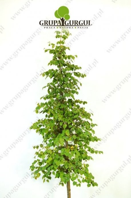 lipa-drobnolistna-greenspire-tilia-cordata-greenspire.1_f