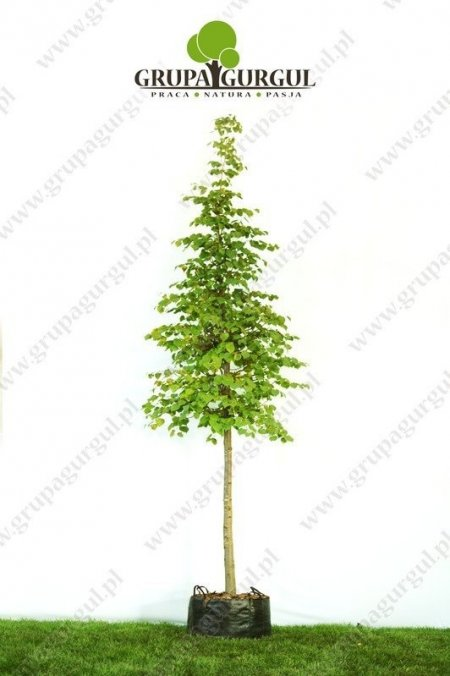 lipa-drobnolistna-greenspire-tilia-cordata-greenspire_f