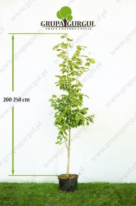 magnolia-purpurowa-nigra-magnolia-liliiflora-nigra.1_f