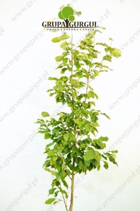 magnolia-purpurowa-nigra-magnolia-liliiflora-nigra.2_f