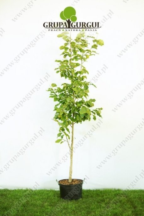 magnolia-purpurowa-nigra-magnolia-liliiflora-nigra_f