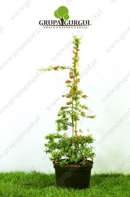 Ognik szkarłatny – Pyracantha coccinea – różne odmiany