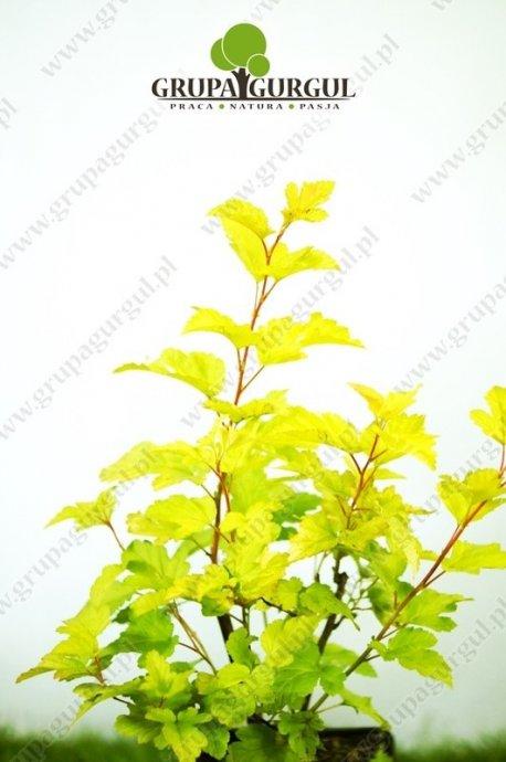 Pęcherznica kalinolistna 'Dart's Gold' – Physocarpus opulifolius 'Dart's Gold'
