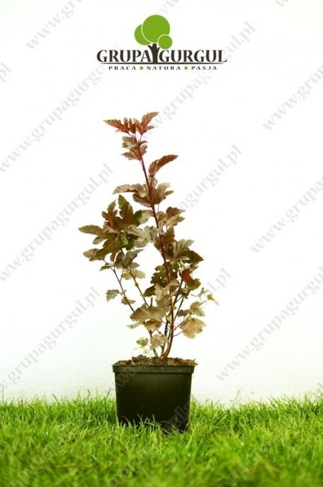 Pęcherznica kalinolistna 'Diabolo' – Physocarpus opulifolius 'Diabolo'