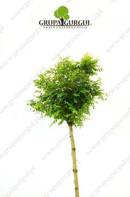 robinia-akacjowa-umbraculifera-robinia-pseudoacacia-umbraculifera.1_f