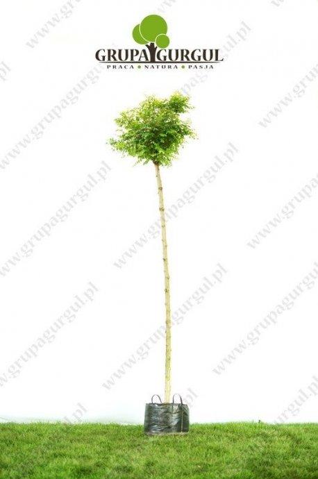 robinia-akacjowa-umbraculifera-robinia-pseudoacacia-umbraculifera_f