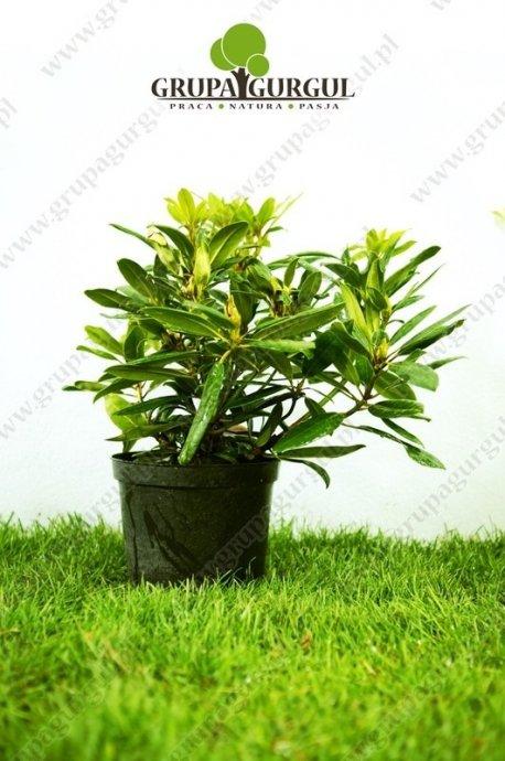 Rożanecznik – Rhododendron – różne odmiany