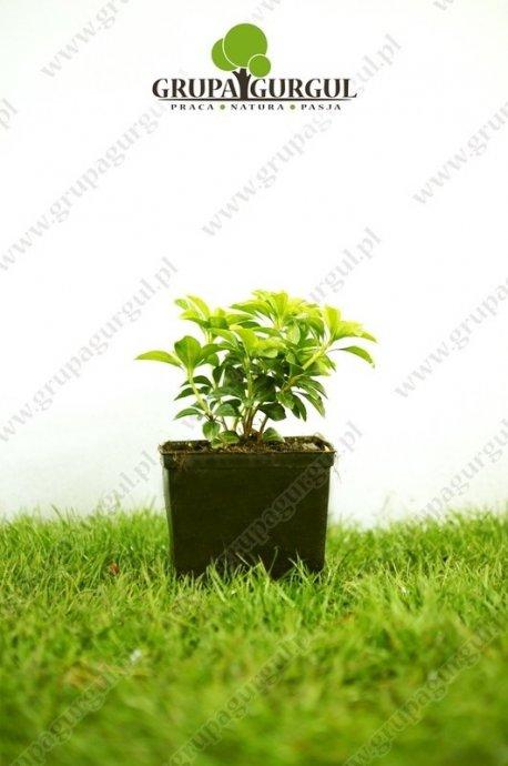 Runianka japońska 'Green Carpet' – Pachysandra terminalis 'Green Carpet'