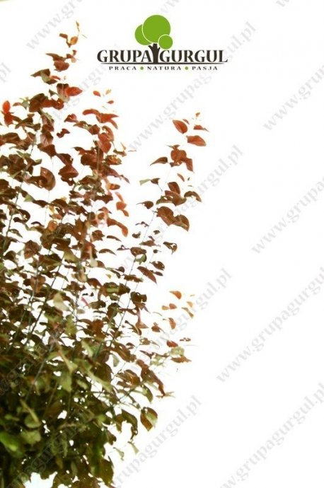 sliwa-wisniowa-nigra-prunus-cerasifera-nigra.2_f