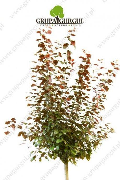 sliwa-wisniowa-nigra-prunus-cerasifera-nigra.1_f