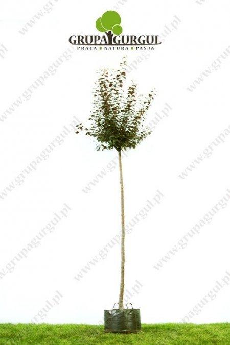 sliwa-wisniowa-nigra-prunus-cerasifera-nigra_f